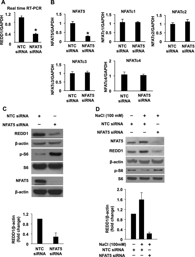 NFAT5 regulates REDD1 expression in HT29 cells. (A and B) HT29 cells were transfected with NFAT5 or NTC siRNA. After 48-h incubation, transfected cells were lysed, total RNA was extracted, and real-time RT PCR was performed for analysis of REDD1 (A) and NFAT5 and NFATc1, NFATc2, NFATc3, and NFATc4 mRNA expression (B). (Data represent mean ± SD; *, p