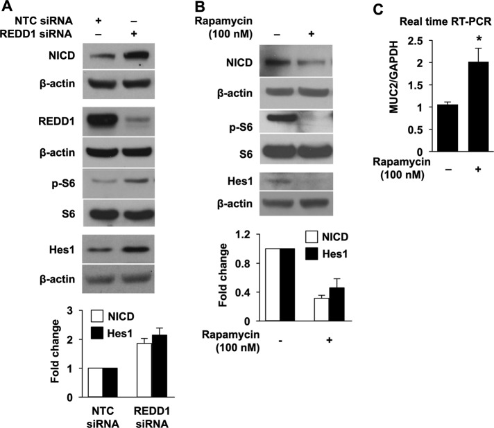 Regulation of MUC2 mRNA expression by mTORC1/Notch signaling pathway. (A) HT29 cells were transfected with NTC siRNA or siRNA targeting REDD1. (B) HT29 cells were treated with 100 nM rapamycin for 24 h. Total protein was extracted, and Western blotting was performed using anti-NICD, REDD1, anti–p-Ser-6, anti-Ser-6, Hes1, and anti–β-actin antibodies. NICD and Hes1 signals from three separate experiments were quantitated densitometrically and expressed as fold change with respect to β-actin. (C) HT29 cells were treated with 100 nM rapamycin for 24 h; total RNA was extracted and MUC2 mRNA levels were determined by real-time RT-PCR. (Data represent mean ± SD; *, p