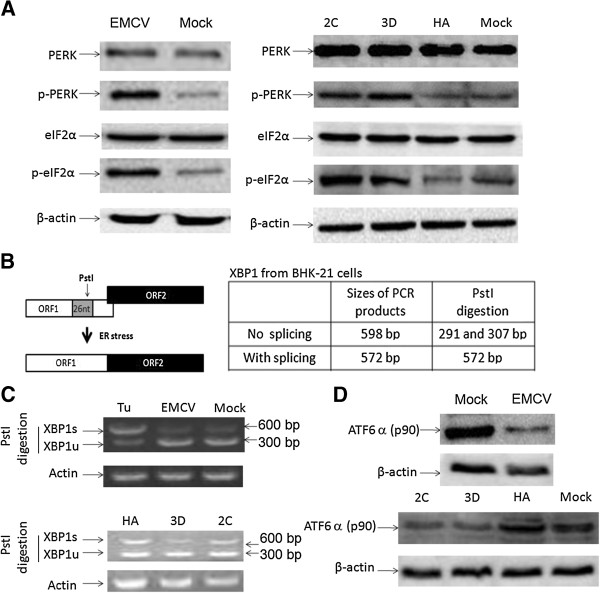 The regulation of the UPR pathway in the EMCV-infected or with expressed EMCV 2C or 3D BHK 21 cells. (A) BHK-21 cells were harvested after infecting with EMCV (MOI = 0.005) for 12 h or transfecting with pCMV-HA-2C, pCMV-HA-3D or pCMV-HA (as a control) for 48 h, and subjected to Western blotting analysis for PERK, p-PERK, eIF2α, p-eIF2α and β-actin with the indicated antibodies. (B) The analysis scheme for XBP1 mRNA splicing. The relative locations of the 26-nt intron and the PstI restriction site are shown. The sizes of PCR-amplified fragments from spliced XBP1 (XBP1s) and unspliced XBP1 (XBP1u) with or without PstI cleavage are also listed. (C) RT-PCR analysis. The BHK-21 cells were treated with Tu (1 μg/ml) for 12 h, infected with EMCV (MOI = 0.005) for 12 h or transfected with the pCMV-HA-2C, pCMV-HA-3D or pCMV-HA (as a control) for 48 h. Total cellular RNAs were prepared, and RT-PCR was performed by using specific primers to determine the XBP1 splicing (XBP1s) level. To detect XBP1 splicing (XBP1s), the PCR products were digested with PstI and electrophoresed. The XBP1u (291/307 bp) and XBP1s (572 bp) bands are indicated. (D) A Western blotting analysis of ATF6α and β-actin in the cell extracts of BHK-21 cells that were infected with EMCV (MOI = 0.005) for 12 h or transfected with 2C- or 3D-expressing plasmid for 48 h.