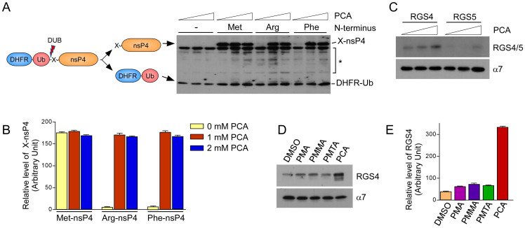 PCA inhibits the type 1 and type 2 Arg/N-end rule pathways in vitro . (A) Artificial Arg/N-end rule substrates Arg-nsP4 and Phe-nsP4, which are type 1 and type 2 model substrates, respectively, were stabilized by PCA. Tripartite DHFR-Ub-X-nsP4 fusion proteins were expressed in vitro with biotin labels using rabbit reticulocyte lysates and biotinylated lysyl tRNA. Total reaction mixtures were subjected to SDS-PAGE followed by Western blot using horseradish peroxidase (HRP)-conjugated streptavidin. Cotranslational cleavage events by deubiquitinating enzymes (DUB) yields long-lived DHFR-Ub references and X-nsP4 substrates as indicated. Asterisk indicates nonspecific signals or cleaved forms of X-nsP4. The in vitro expression/degradation reactions were performed in the presence of 0, 1, 2 mM PCA for 90 min. (B) Relative amounts of remaining X-nsP4 proteins normalized by DHFR-Ub in the presence/absence of PCA. Multiple film images were quantified by densitometry. (C) Otherwise short-lived RGS4 and RGS5, physiological Arg/N-end rule substrates, were stabilized by PCA. As in Fig. 1 A except that a proteasome core particle subunit α7 was used as loading control. (D) Compounds which are structurally similar to PCA did not inhibit the Arg/N-end rule pathway. Unlike PCA, PMMA, PMA, or PMTA exhibited little effects on RGS4 level compared to control (DMSO). Cropped gels/blots are used in (C) and (D). (E) Quantification of RGS4 levels, which are normalized to those of α7. Data represent mean ± SD (n = 3).