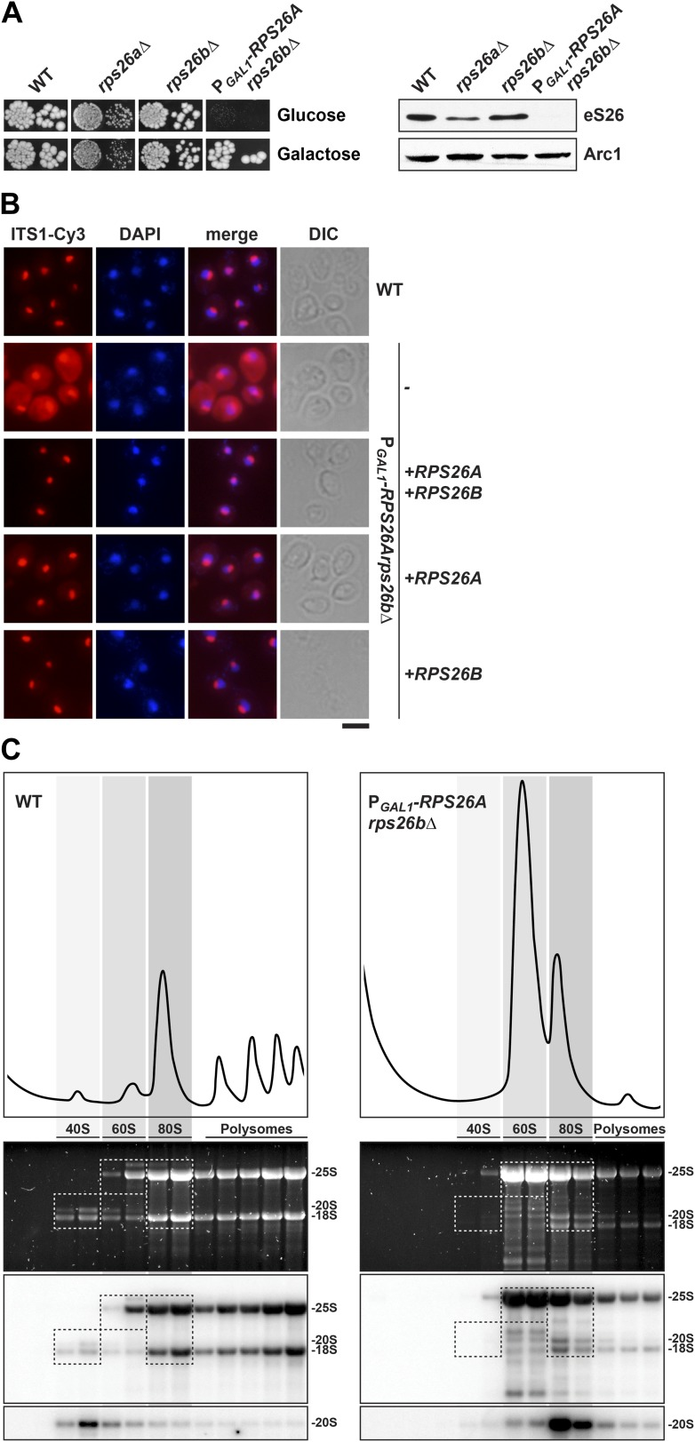 eS26 is required for cytoplasmic processing of immature 20S pre-rRNA to mature 18S rRNA. ( A ) eS26 is essential for viability in yeast. Left panel: WT, rps26aΔ, rps26bΔ and the conditional mutant P GAL1 - RPS26Arps26bΔ were spotted in 10-fold dilutions on galactose and repressive glucose containing media and grown at 30°C for 2–4 days. Right panel: protein levels of eS26 in whole cell extracts of indicated strains were determined by Western analyses using α-eS26 antibodies. Arc1 protein levels served as loading control. ( B ) eS26-depleted cells accumulate immature 20S pre-rRNA in the cytoplasm. P GAL1 - RPS26Arps26bΔ cells transformed with indicated plasmids were grown in glucose containing liquid media at 37°C to mid-log phase. Localization of 20S pre-rRNA was analyzed by FISH using a Cy3-labeled oligonucleotide complementary to the 5′ portion of ITS1 (red). Nuclear and mitochondrial DNA was stained with DAPI (blue). Scale bar = 5 µm. ( C ) eS26-depleted cells accumulate 80S-like particles. The indicated strains were grown in glucose containing liquid media at 30°C to mid-log phase. Cell extracts were prepared after cycloheximide treatment and subjected to sedimentation centrifugation on 7–50% sucrose density gradients. Polysome profiles were recorded at OD 254nm (top panels). The peaks for 40S and 60S subunits, 80S ribosomes and polysomes are indicated. Sucrose gradients were fractionated, the RNA was extracted, separated on a 2% Agarose gel, stained with GelRed (Biotium, middle panels) and subsequently analyzed by Northern blotting using probes against the indicated rRNAs (bottom panels). Exposure times for phosphoimager screens were 20 min for 25S and 18S rRNA, and 3–4 hr for 20S pre-rRNAs. DOI: http://dx.doi.org/10.7554/eLife.03473.005