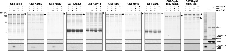 eS26, but not Tsr2:eS26 or Tsr2, interacts with importins. Recombinant GST tagged importins, immobilized on Glutathione Sepharose, were incubated with purified 3.4 µM Tsr2, 4 µM Tsr2:eS26 or E. coli lysate containing ∼4 µM eS26 FLAG in PBSKMT and competing E. coli lysates for 1 hr at 4°C. After washing, bound proteins were eluted in SDS sample buffer, separated by SDS-PAGE, and visualized by either Coomassie Blue staining or Western analyses using indicated antibodies. L = input. GST-tagged importins are indicated with asterisk, His 6 -Srp1 is indicated with a rectangle. DOI: http://dx.doi.org/10.7554/eLife.03473.009