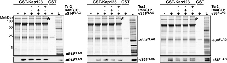 RanGTP and Tsr2 do not release eS31, eS8 and uS14 from Kap123. GST-Kap123 and GST alone were immobilized on Glutathione Sepharose and incubated with E. coli lysate containing ∼4 µM eS14 FLAG , eS31 FLAG or eS8 FLAG in PBSKMT combined with competing E. coli lysates for 1 hr at 4°C.GST-Kap123:eS14 FLAG , GST-Kap123:eS31 FLAG , GST-Kap123:eS8 FLAG complexes were incubated with either buffer alone or with 1.5 µM RanGTP or 1.5 µM Tsr2 for 1 hr at 4°C. Bound proteins were eluted in SDS sample buffer and separated by SDS-PAGE. Proteins were visualized by Coomassie Blue staining or Western analyses using α-FLAG-antibodies. L = input. GST-Kap123 is indicated with asterisks. DOI: http://dx.doi.org/10.7554/eLife.03473.012