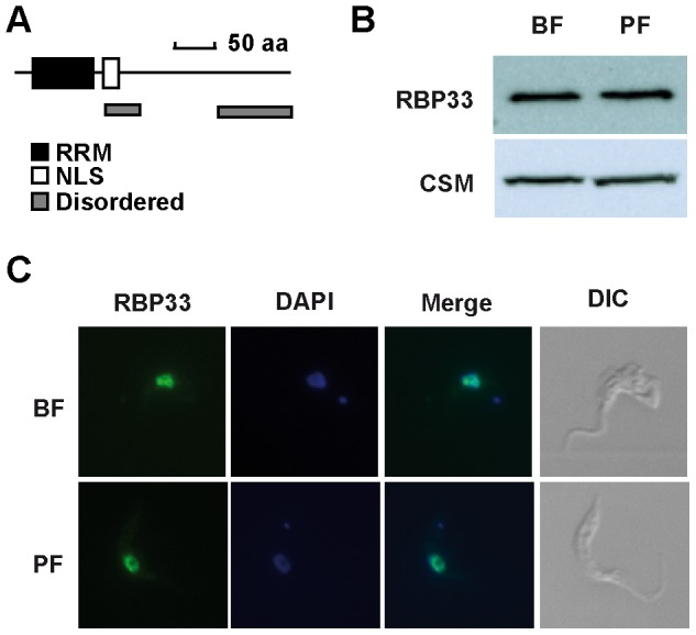 Expression and subcellular localization of RBP33 in bloodstream and procyclic trypanosomes. (A) Schematic diagram of T. brucei RBP33. An anti-RBP33 antiserum was used to detect the protein by (B) western blot analysis of total cell extracts or (C) immunofluorescence assays. CSM protein [39] was included as loading control, and DAPI was used to stain nuclei.