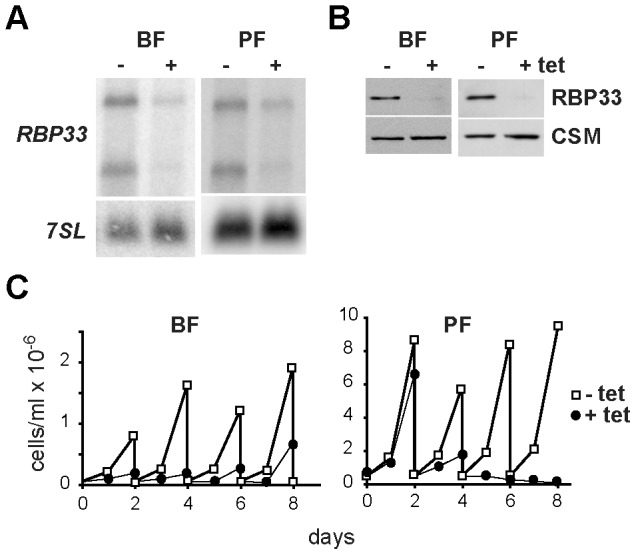 RBP33 is an essential protein in trypanosomes. Cell lines were generated that expressed RBP33 -specific dsRNA in a tetracycline-inducible manner. The levels of mRNA (A) or protein (B) were analyzed in cells incubated with tetracycline for 48 h. Loading controls were the 7SL RNA [40] or the CSM protein [39] . (C) RNAi cell lines were grown in the absence (open squares) or presence (filled circles) of 1 µg/ml tetracycline to induce RNAi. Cultures were followed up to 8 days and diluted to 0.5×10 5 cells/ml (bloodstream) or 0.4×10 6 cells/ml (procyclic) every 2 days as required.