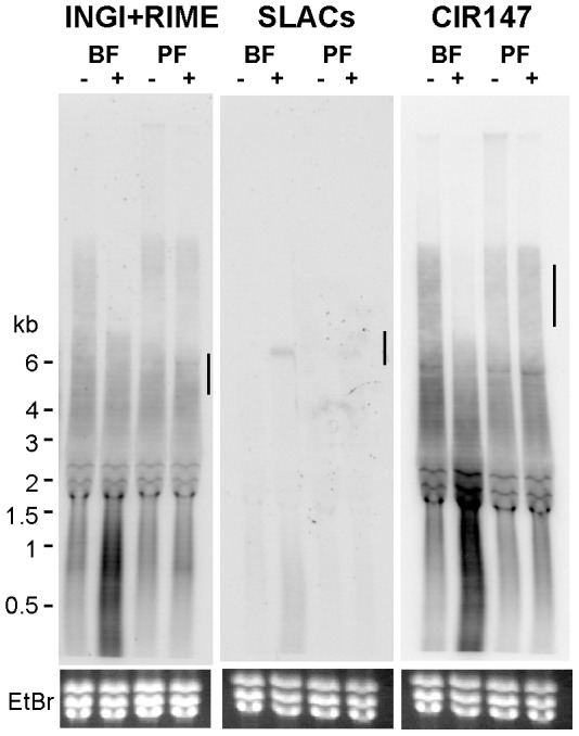 Effect of RBP33 depletion on the levels of transcripts derived from retroposons and CIR147 repeats. Probes designed to detect both INGI/RIME-derived transcripts, SLACs retroposons or CIR147-derived transcripts were used in Northern hybridizations as described in Fig. 5 legend. Ethidium bromide staining was used as a loading control. Vertical lines indicate the expected migration of the corresponding transcripts upon disruption of the RNAi machinery observed in [6] .
