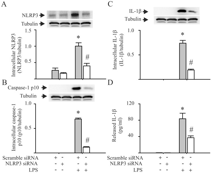 siRNA knock down of NLRP3 prevents LPS-induced caspase-1 activation and <t>IL-1β</t> production by cardiac fibroblasts (CFs). CFs were transfected with siRNA specific to NLRP3 or with scrambled siRNA. Forty eight hrs after transfection, the cells were challenged with LPS (1 µg/ml) or vehicle for 24 hrs. The cells were lysed for the detection of intracellular NLRP3 ( A ), caspase-1 p10 ( B ), and intracellular IL-1β ( C ) with Western blot. The supernatants were harvested for the detection of released IL-1β with ELISA ( D ). For A , B , and C , representative blots and densitometric analyses are shown. n = 3 for all experiments (A–D). *p