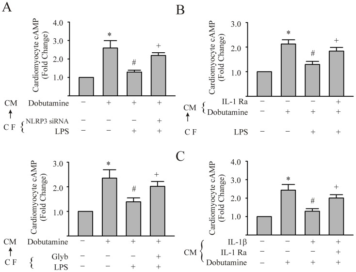 Supernatants from LPS-challenged cardiac fibroblasts (CFs) can inhibit the increase in cardiomyocyte (CM) cAMP induced by dobutamine; an effect dependent on an intact NLRP3 inflammasome/IL-1β axis in CFs. In panels A–C, CM were challenged with supernatants from LPS- or vehicle- conditioned CFs.(CF→CM). In Panel A, the CFs were transfected with NLRP3 siRNA or glyburide (200 µM) prior to challenge with LPS for 24 hrs. Subsequently, the supernatants were added to CM monolayers and thereafter, the cardiomyocytes were stimulated with vehicle or dobutamine (7.5 µM) for 10 min. The CM were harvested for the measurement of intracellular cAMP. In Panel B, CM were challenged with supernatants from LPS- or vehicle- conditioned CFs, with or without IL-1Ra (5 µg/ml) and intracellular cAMP assessed after dobutamine treatment. In panel C, CM were challenged with IL-1β (5 ng/mL) or IL-1β plus IL-1Ra (5 µg/mL) for 24 hrs. Subsequently, the CM were challenged with dobutamine and cAMP of CM was assessed. For all experiments, n = 3 and *, #, +p