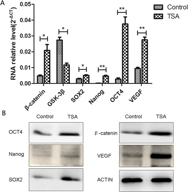 Epidermal cells showed upregulated Wnt signaling and enhanced stemness after pretreatment with TSA. qRT-PCR showed upregulation of β-catenin, SOX2, Nanog, OCT4, and VEGF and downregulation of GSK-3β in TSA-pretreated epithelial cells compared with control cells (A) . Similar results were obtained using western blot analysis (B) .
