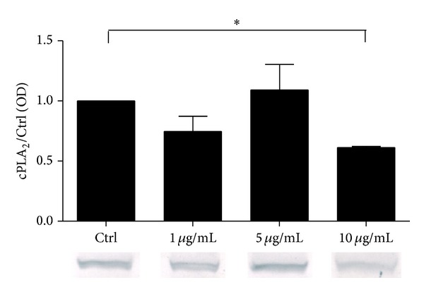 Relative cPLA 2 α protein expression in A549 cells stimulated with rFel d1. A549 were stimulated with rFel d1 (5 μ g/mL) for 24 hours. Control represents cells treated with the vehicle. The immunoblot is representative of three independent experiments in A549 cells, each showing similar results. The bar graph shows the densitometry results. Data are presented as the fold change compared with the vehicle-treated cells. Data represent the mean ± SE from at least three independent experiments. ∗ P