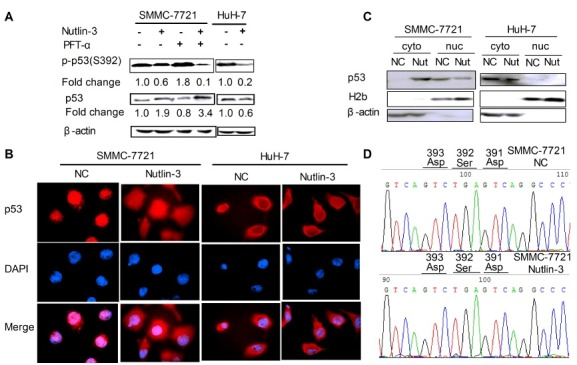 Nutlin-3 down-regulates the protein expression levels of phospho-Ser 392 -p53. (A) The protein expression of phospho-Ser 392 -p53 and p53. The cells were treated as indicated. β-actin served as the loading control. (B) The subcellular localization of p53 was detected under immunofluorescence microscope (1,000×). The cells were treated as indicated and stained for p53 (red). Nuclei were counterstained with DAPI (blue). Images were merged using Image-Pro plus 6.0. (C) The subcellular localization of p53 was detected by western blot analysis. Anti-H2b and β-actin antibodies were used as a loading control of nuclear and cytoplasmic proteins, respectively. (cyto) cytoplasmic proteins; (nuc) nuclear proteins. (D) Representative sequencing data identified p53- Ser 392 mutant from PCR products of SMMC- 7721 cells treated with or without Nutlin-3.