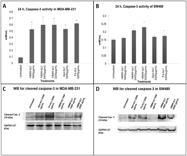 Caspase-3 activation. A and B represent the increased caspase-3 activity measurements upon treatment with HMW-bLf in MDA-MB-231 and SW480 cells, respectively. (* P