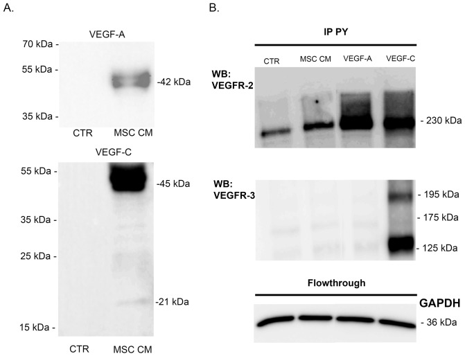 VEGF-A secreted by BM-MSC activate LEC. (A) Western blot analyses of VEGF-A and VEGF-C production on serum-free EBM-2 (CTR) and MSC conditioned medium (MSC CM). (B) VEGFR-2 (top) and VEGFR-3 (bottom) proteins were detected following a phosphorylated tyrosine-containing protein (pY) immunoprecipation (IP) of LEC lysates after cell stimulation with control medium (CTR) or with MSC conditioned medium (MSC CM). Cells treated with VEGF-A (10 ng/ml) or VEGF-C (400 ng/ml) were used as negative and positive controls, respectively. GAPDH western blot was performed on the flowthrough of each sample.