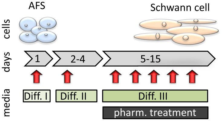 Scheme for the applied differentiation protocol. In order to initiate human AFS cell differentiation to a Schwann cell phenotype AFS cells were first treated in serum free α-MEM with 1 mM β-mercaptoethanol (Diff. I) for 24 hours. Afterwards cells were incubated in α-MEM supplemented with 10% fetal bovine serum and 35 ng/ml retinoic acid (Diff. II) for 72 hours. Subsequently, cells were cultured in α-MEM containing 10% fetal bovine serum supplemented with 20 ng/mL epidermal growth factor, 20 ng/mL basic fibroblast growth factor, 5 mM forskolin, 5 ng/mL platelet-derived growth factor-AA and 200 ng/mL recombinant human heregulin-beta1 (Diff. III) until day 15 of differentiation. Media was changed every 3 days, indicated by arrows. Pharmacologic (pharm.) treatment, consisting of rapamycin or statin, was applied together with Diff. III media.