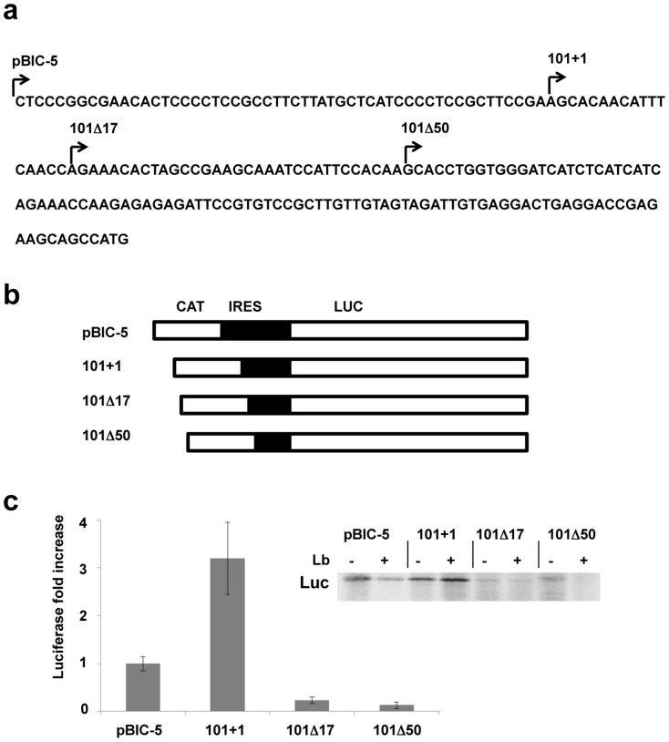 Functional analysis of the maize hsp101 IRES. a) Maize Hsp101 5′UTR sequence. Arrows indicate the first nucleotide of the fragments used to identify the functional IRES region. b) Schematic representation of the bicistronic constructs pBIC-5 plasmid was used as positive control. Hsp101 fragments (sense orientation) were inserted between the chloramphenicol acetyl transferase (CAT) and luciferase (Luc) reporter genes. c) Translation efficiency of the mutant IRES elements in RRL. Equal amounts of in vitro synthesized RNAs pBIC-5, 101+1, 101Δ17 or 101Δ50 were used to program translation using Lb-untreated (-) RRL or Lb-treated (+) RRL. Proteins were resolved by SDS–PAGE and visualized by autoradiography of dry gels. Synthesis of luciferase driven by the indicated IRES elements in the presence or absence of the Lb protease is shown on the insert. The histogram shows the intensity of luciferase translation efficiency driven by the indicated RNAs in the presence of Lb (cap-independent).