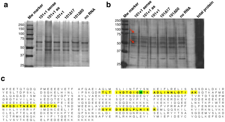Identification of proteins associated to maize hsp101 IRES. Purification of IRES-protein complexes using RRL translation system (a), or Lb-treated RRL translation system (b) with RNAs indicated at the top. Equal amounts of samples containing the proteins that coprecipitated with the indicated RNAs were loaded on SDS-PAGE and detected by silver staining. Red arrows depict two bands specifically copurifying with 101+1 sense RNA using the Lb-treated RRL. c) Sequence of the 75 kDa protein that binds to maize hsp101 IRES. The 75 KDa band (indicated by an arrow in lane 2 of panel b) was sequenced and identified as the molecular chaperone HSP90. The results yielded 4 unique peptides (shaded in yellow), 4 unique spectra, 5 total spectra, 54/565 amino acids (10% coverage).