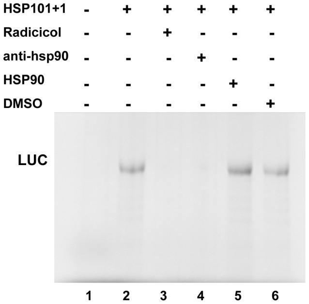 Effect of HSP90 protein on hsp101+1 translation initiation. Equal amounts of in vitro synthesized RNAs 101+1 were used to program translation using RRL in the presence of Radicicol (lane 3), anti-HSP90 (lane 4), HSP90 protein (lane 5), or DMSO (lane 6). Proteins were resolved by SDS–PAGE and visualized by autoradiography of the dry gel. Synthesis of luciferase driven by the indicated IRES elements in the presence of the Lb protease (cap-independent).