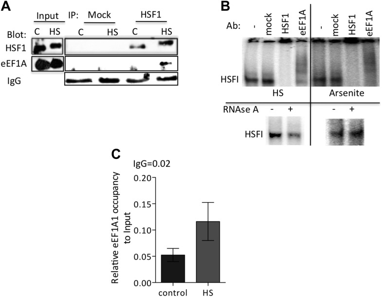eEF1A1 interacts with HSF1 at HSE upon stress and binds HSP27 promoter. ( A ) Stress-induced formation of the eEF1A1-HSF1 complex in vivo. Extracts from unstressed ( C ) or heat-shocked (HS) MDA-MB231 cells IP with HSF1 antibody or IgG. IP samples or total protein (Input) were subjected to SDS-PAGE and immunoblotting. ( B ) RNA-dependent formation of the eEF1A-HSF1-HSE complex is specific to heat shock. Top panel shows the super-shift of HSF1-HSE EMSA caused by specified antibodies. MDA-MB-231 cells were heat shocked for 20 min at 43°C (HS) or treated with 80 μM arsenite for 2 hr (right panel). Cell extracts were incubated with HSF1 or eEF1A1 antibodies or IgG (mock). In parallel, cells were also treated with RNAse A prior to EMSA (lower panel). ( C ) Chromatin from MDA-MB231 cells was IP with eEF1A1 and IgG antibodies and amplified by PCR targeting the HSP27 promoter region. Control—cells kept at 37°C, HS—cells heat shocked at 43°C for 30 min. Values below IgG number mean no occupancy. DOI: http://dx.doi.org/10.7554/eLife.03164.011