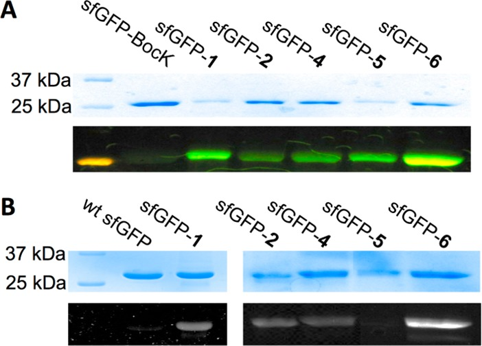 Selective labeling of sfGFPs that contained site-specifically incorporated NCAAs with strained alkene/alkyne functionalities with (A) FITC-TZ and (B) HZCL. In A and B, the top panels show denaturing SDS-PAGE analysis of proteins stained with Coomassie blue and the bottom panels are from fluorescent imaging of the same gels before Coomassie blue staining. In A, the fluorescent image was captured by a digital camera and displayed was real color of the emitting light. In B, the fluorescent image was captured by a Bio-Rad <t>ChemiDoc</t> <t>XRS</t> system.