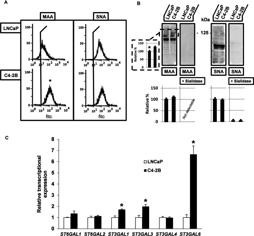 Differences in sialylation between parental, non-invasive LNCaP and bone metastatic C4-2B cells ( A ) Flow cytometric determination of increased cell surface expression levels of α2,3- (left panel) and equal expression levels of α2,6- (right panel) linked sialic acid residues in C4-2B cells, using the lectins MAA and <t>SNA,</t> respectively. Single cell suspensions of LNCaP and C4-2B cells were incubated with biotinylated-MAA and SNA, followed by Fluorescein Avidin <t>DCS</t> and analysed on the Cell Lab Quanta SC MPL, stainings without the particular lectins were used as controls. Each experiment was performed at least three times. ( B ) Lectin blot analysis for total expression levels of α2,3- and α2,6-linked sialic acids in LNCaP and C4-2B cell lysates, containing 25 μg protein. Lysates were analysed by 4–20% gradient or 7.5% SDS/PAGE, and blotted with MAA (left panel) and SNA (right panel). Sialidase treatment (0.5 U/ml sodium citrate buffer at pH 6) of the blotted membranes for 16 h at 37°C, serves as control for the presence of sialic acid residues. Scion Image densitometry analysis of bands indicating the presence of α2,3- and α2,6-linked sialic acids in both cell lines (lower panels) and evaluation of the increased density at 125 kDa in C4-2B cells (side left panel) ( C ) Transcriptional expression levels of ST genes resulting in α2,3- and α2,6-linked sialic acid residues. Expression levels were determined by QPCR, normalized against HPRT (hypoxanthine–guanine phosphoribosyltransferase) and levels present in C4-2B cells are expressed relative as compared with the expression in the parental, non-invasive LNCaP cells. Analysed and evaluated data are means±S.D. from at least three independent experiments, asterisks indicate statistical difference from parental, non-invasive LNCaP control cells ( P