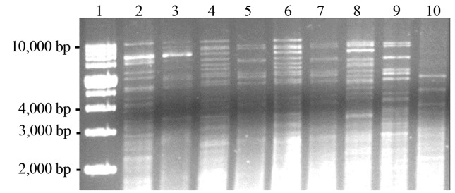 Patterns generated by mitochondrial DNA-RFLP with <t>Hinf</t> I restriction endonuclease of indigenous Saccharomyces cerevisiae and commercial strains. Lanes: 1, 1 Kb plus DNA Ladder; 2, commercial yeast S. cerevisiae A, profile P6; 3, commercial S. cerevisiae B, profile P7; 4, commercial S. cerevisiae C, profile P8; 5, commercial S. cerevisiae D, profile P5; 6, commercial S. bayanus F, profile P8; 7, commercial S. cerevisiae E, profile P5; 8, strain LMA-V68, profile P1; 9, strain LMA-V65, profile P5; 10, strain LMA-V80, profile P2.