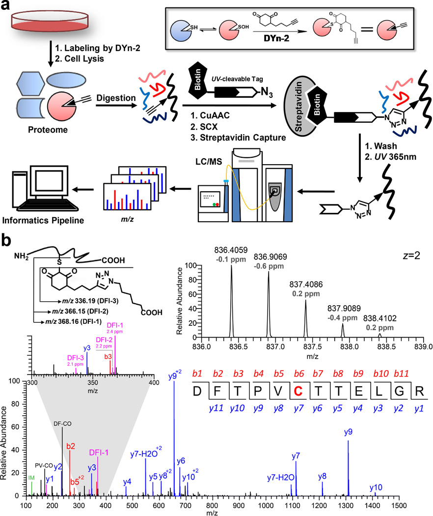 Site-specific mapping of protein S -sulfenylation in cells ( a ) Workflow for selective labeling and analysis of protein S -sulfenylation in living cells. S -sulfenylated cysteines in intact RKO cells were labeled with the dimedone-based probe, DYn-2. Cell proteins then were digested with trypsin and labeled peptides were conjugated with azide biotin reagent, captured with streptavidin beads, and released by photocleavage of the biotin linker. The released DYn-2-triazohexanoic acid-modified peptides were analyzed by LC-MS/MS. ( b ) Characteristic fragmentation of modified peptides (upper, left) and a representative MS1 spectrum (upper, right) and HCD MS/MS spectrum (lower) of a DYn-2-triazohexanoic acid-modified peptide from S-sulfenylated PRDX6. The highlighted cysteine in the peptide sequence represents the S-sulfenylated site (C47) of PRDX6. A zoom window displays the high mass accuracy of three diagnostic fragment ion (DFI) peaks.