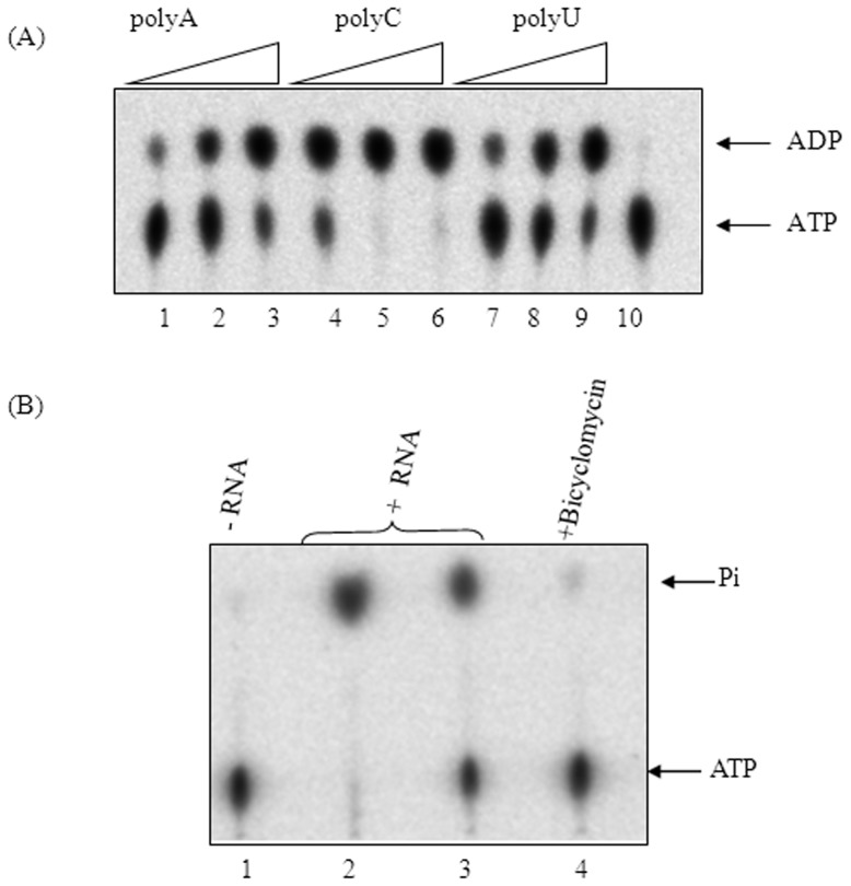 ATPase activity of MtbRho. (A) MtbRho hydrolyses ATP in presence of increasing concentrations of homopolymeric RNA – polyA (lanes1–3), polyC (lanes4–6) and polyU (lanes 7–9). No hydrolysis was observed in absence of RNA (lane 10). (B) MtbRho hydrolyzes ATP in presence of mycobacterial RNA. No hydrolysis was observed in absence of RNA (lane 1); 2 and 1 µg of M. smegmatis RNA stimulated ATP hydrolysis (lanes 2,3); the reaction is inhibited by Bicyclomycin (lane 4). ATPase assay was carried out as described in Methods . [1 mM unlabeled ATP was used as substrate, along with 100 nCi of α- 32 P-ATP (Panel A) or 100 nCi of γ- 32 P-ATP(Panel B), as tracer. Hydrolysis resulted in formation of α- 32 P-ADP (Panel A) or 32 Pi (Panel B) which were visualized using phosphorimager].