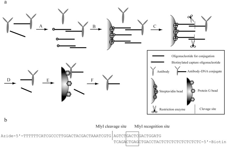 Schematic illustration of two-step purification of affinity binder-oligonucleotide conjugates. (a) Antibody-DNA conjugates illustrated here as an example. Conjugation of antibodies and oligonucleotides yields a mixture of desired conjugates, along with unconjugated antibodies and unconjugated oligonucleotides. (A) Biotinylated capture DNA oligonucleotides are hybridized to the oligonucleotides in the mixture. (B) Streptavidin-coated Sepharose beads are used to capture the biotinylated capture oligonucleotides, both in the form of conjugates and free oligonucleotides. (C) The unconjugated antibodies are removed by washes. (D) The MlyI enzyme is used to cleave the captured oligonucleotide hybrids, allowing both conjugates and oligonucleotides to be eluted from the solid support. (E) The eluate is then incubated either with <t>protein</t> G beads (for antibody-DNA conjugates) or with <t>Dynabeads</t> His tag (for DARPin-DNA conjugates), while free oligonucleotides are removed by washes. (F) Finally, purified conjugates are eluted from the solid support. (b) Illustration of hybridization of Arm1_long and Arm1 Capture, and the subsequent MlyI cleavage.