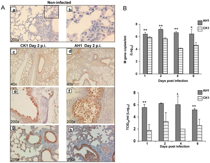 CK1 and AH1 replication profile in mouse lung. A. Representative images of immunohistochemically stained influenza nucleoprotein (NP) in formalin fixed mouse lung tissue infected with CK1 or AH1 at day 2 p.i. Viral NP protein was labeled brown by <t>3,3′-diaminobenzidine</t> (DAB). Uninfected mouse lung as negative control ( a) , amplified image (b); Representative images of CK1(c) and AH1 (d) infected mouse lung stained NP positive at 40x magnification. Trachea epithelial cells (e and f), bronchiole epithelial and alveolar epithelial cells (g and h) were stained positive for viral NP protein. (Original magnification ×200). B. Viral load in infected mouse lung homogenates. Mice were infected with 10 5 of AH1 or 10 6 PFU of CK1, at day 1, 2, 4 and 6 p.i., 3–5 mice from each group were sacrificed. The left side of the lung was homogenized in 1 ml of MEM culture medium. Viral loads were determined by amplification of viral M gene copy numbers by real time RT-PCR (top panel), and infectious viral titre were determined by TCID 50 assay on MDCK cells (bottom panel). ** P