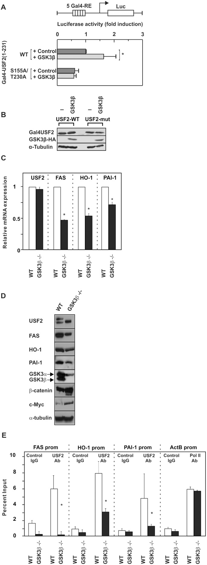 GSK3β-mediated phosphorylation of USF2 affects its transactivity, DNA binding and target gene expression. (A) HeLa cells were cotransfected with pFR-5Gal4-RE-Luc, an expression vector for constitutively active GSK3β-S9A and WT or mutant pcDNA6-Gal4-USF2 (1-231) or the appropriate empty Gal4 vector. The luciferase activity was calculated as fold induction compared to the Gal4-USF2 (1-231)-WT luciferase activity after subtracting the values from the empty Gal4 expression vector. *, significant differences control vs. GSK3β. (B) Representative Western blot of the transfected constructs. 50 µg of protein from transfected cells were probed with an antibody against Gal4, HA-tag and α-tubulin. (C) Quantitative RT-PCR analyses of FAS, HO-1, PAI-1 and USF2 mRNA levels in GSK3β +/+ and GSK3β −/− cells. *, significant differences WT vs. GSK3β −/− . (D) Western Blot analyses of FAS, HO-1 and PAI-1 expression in GSK3β +/+ and GSK3β −/− cells . 50 µg of protein were subjected to Western analysis with antibodies against FAS, HO-1, PAI-1 or β-catenin, c-Myc or α-tubulin; the latter served as a loading control. (E) ChIP was performed in GSK3β +/+ and GSK3β −/− cells with either USF2 antibody, control IgG or RNA Pol II antibody. The quantitative PCR was performed with primers amplifying the FAS, HO-1, and PAI-1 promoter containing the USF2 binding sites, and with primers amplifying the β-actin promoter binding RNA Pol II as outlined in Materials and Methods . *, significant differences WT vs. GSK3β −/− .