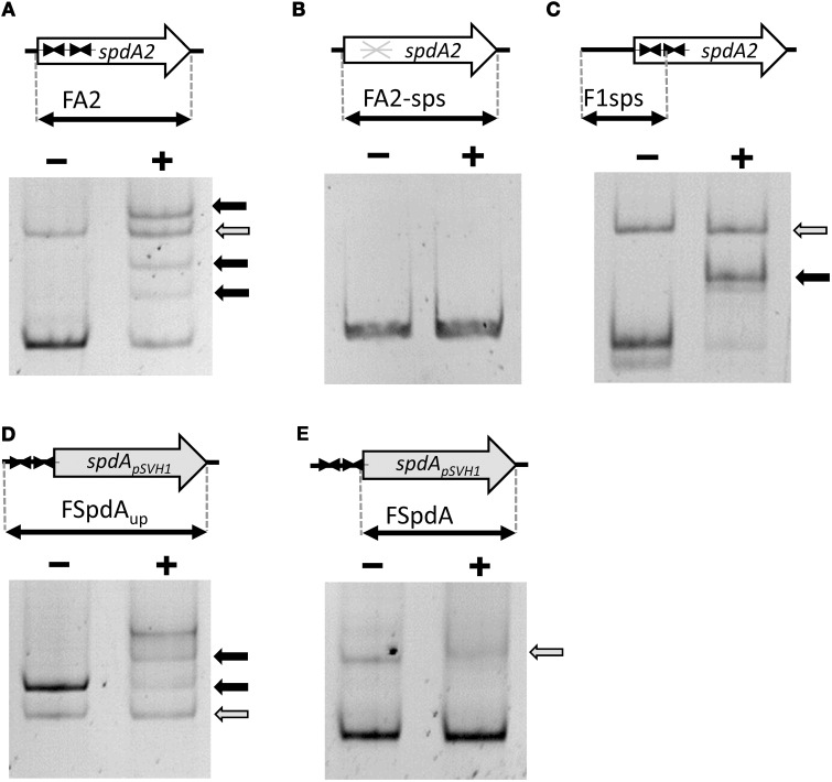 Electrophoretic mobility shift assays demonstrating binding of SpdA2-His to the palindromic sequence motif sps . Different PCR fragments, as schematically illustrated, were incubated with ~2 pmol purified SpdA2-His protein (+) or without SpdA2-His (−), run on a 6% Tris-acetate polyacrylamide gel and stained with EtBr. The gray arrow indicates the band corresponding to a PCR fragment (FTraR pSVH1 ) added as a negative control for binding specificity. Black arrows mark retarded DNA fragments. Interaction of SpdA2-His with the FA2 fragment resulted in several retarded bands (A) . Whereas SpdA2-His did not interact with the FA2-sps fragment (B) , SpdA2-His shifted fragment F1sps, containing a single palindromic sps sequence (C) . SpdA2-His also bound to the PCR fragment FSpdA up , containing a T insertion within the palindromic sequence sps (D) , but did not recognize FSpdA, lacking sps (E) .