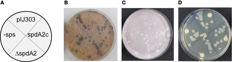Genetic crosses to visualize transfer and intramycelial plasmid spreading of pIJ303 and its derivatives . Dilutions of S. lividans TK54 containing derivatives of plasmid pIJ303 (thio R ) were streaked on a lawn (~10 6 spores) of plasmid free TK64::pSET152 (apra R ) on R5 plates, as schematically illustrated (A) . Pock structures associated with the conjugative plasmid transfer were visible after 2 days of incubation at 30°C (B) . After 7 days of incubation the fully sporulated plate (C) was replica plated on LB containing apramycin and thiostrepton to select for transconjugants (D) . Pock diameters and sizes of the transconjugant areas indicating efficiency of conjugative transfer and intramycelial plasmid spreading were approximately the same for all derivatives of pIJ303.