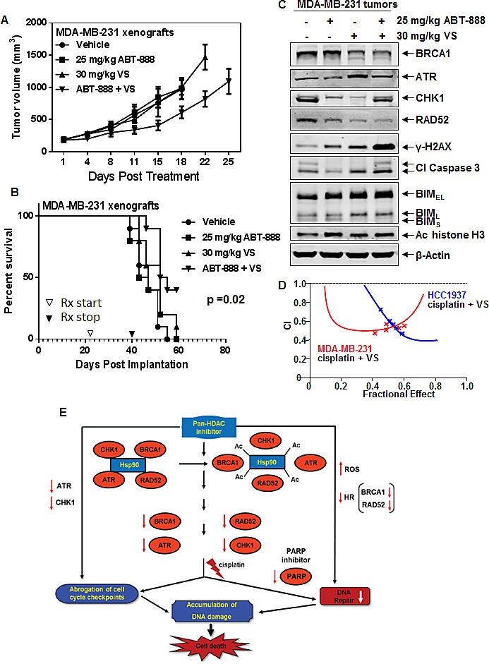Co-treatment with VS and ABT-888 significantly inhibits tumor growth and improves the survival of NOD/SCID mice bearing MDA-MB-231 xenografts A. Mean tumor volume of mice treated with vehicle, ABT-888 and/or VS for 3 weeks. Mice treated with ABT-888 and VS displayed significantly smaller tumors than mice treated with ABT-888 alone (p=0.037) or VS alone (p=0.04). B. Kaplan-Meier survival plot of the mice treated with vehicle, ABT-888, VS, or ABT-888+VS. Mice treated with the combination of ABT-888 and VS demonstrated significantly improved survival (p=0.02) by Log rank (Mantel-Cox) test. C. Representative immunoblots of BRCA1, ATR, CHK1, RAD52, γ-H2AX, cleaved Caspase 3, acetyl histone H3, BIM and β-actin in cell lysates from tumors harvested from mice following 1 week of treatment with ABT-888 and/or VS. D. HCC1937, MDA-MB-231 and SUM159PT cells were treated with cisplatin and vorinostat (VS) for 48 hours and the % apoptotic cells was determined by flow cytometry. Median dose effect and isobologram analyses were performed using Calcusyn. Combination index (CI) values less than 1.0 indicate a synergistic interaction of the two agents in the combination. E. Pan-HDAC inhibitor, by inhibiting HDAC6 levels and activity, induces acetylation and inhibits the chaperone activity of hsp90. This disrupts the chaperone association of hsp90 with its client proteins, such as ATR, BRCA1, RAD52 and CHK1, leading to depletion of their expression levels. Cisplatin treatment leads to decreases in DNA repair and abrogation of cell cycle checkpoints. Treatment with PARP inhibitor inhibits DNA repair leading to accumulation of DNA damage. Combined treatment with HDAC inhibitor and PARP inhibitor leads to greater DNA damage and increased cell death through increased ROS and inhibition of homologous recombination due to depletion of BRCA1 and RAD52. Combined treatment with pan HDAC inhibitor and cisplatin causes greater abrogation of cell cycle checkpoints through HDAC inhibitor-mediated depletion of ATR and CHK1. In addition, accumulation of DNA damage from the combined action of HDAC inhibitor and cisplatin leads to increased cell death of breast cancer cells.