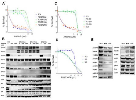 Establishment of afatinib-resistant lung cancer cells (A) Dose response curves for PC9, and drug-resistant PC9BR, PC9BR (3Mo), (10Mo), (11Mo), and (21Mo) cells to various doses of afatinib were determined by WST assay. (B) Western blotting analysis was performed for biochemical profiling of these cells in the absence or presence of afatinib for 6 h. Expression of pEGFR, HER2/pHER2, and HER3/pHER3 were markedly downregulated by resistance to afatinib, and activation of downstream regulating molecules for cell growth and survival was found to be highly resistant to the drugs. Downregulation of EGFR family proteins and upregulation of FGFR1 by selecting for afatinib resistance. (C) Dose response curves for afatinib were acquired for PC9 and its drug-resistant subclones, B3, B19, B20 and Rev1, with various doses of afatinib. (D) B19 and B20 showed 2- to 5-fold higher collateral sensitivity to PD173074.(E) Increasing expression of FGFR1 and pFGFR in resistant sublclones relative to their parental cells