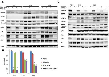 The close association of FGFR activation with acquired resistance to afatinib (A) Effect of FGFR-TKI against afatinib-resistant cells. The phosphorylation of FGFR was blocked upon treatment with either PD173074 (1 μM) alone or with both PD173074 (1 μM) and afatinib (1 μM) for 24 h. (B) Growth of both resistant sublclones was blocked upon treatent with PD173074 (1 μM) alone or with PD173074 (1 μM) and afatinib (1 μM). (C) Treatment with FGFR1 siRNA reduced the expression of FGFR1, accompanied by inhibition of both Akt and Erk phosphorylation in B19 and B20 cells. Cleaved PARP was also induced when resistant sublclones were treated with siRNA FGFR1 in the absence or presence of afatinib (1 μM) for 24 h.