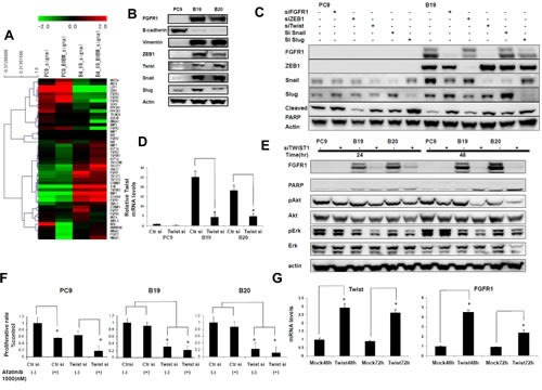 Twist knockdown specifically blocked FGFR1 expression and Akt phospholylation in afatinib resistant cell lines (A) Microarray analysis showed that the resistant subclones B19 acquired typical EMT characteristics relative to their drug-sensitive parental PC9. (B) Expression of Twist, Snail, Slug, and ZEB1 was increased in resistant cells, accompanied by a decrease in the expression of E-cadherin and an increase in that of vimentin. (C) Western blot analyses showed that expression of all three transcription factors was downregulated by their cognate siRNA. Phosphorylation of Akt and Erk was decreased when expression of twist was knockedowned. (D) Real-time PCR analysis revealed that expression of Twist mRNA was downregulated by its cognate siRNA by RT-PCR (E) Expression of FGFR1 was almost completely blocked accompanying by decreased phosphorylation of Akt and ERK when B19 or B20 cells were treated with Twist siRNA for 24hr and 48hr. (F) Cell growth inhibition of B19 and B20 when treated with afatinib and Twist siRNA. (G) FGFR1 mRNA levels in PC9cells were also increased to 2.5-4 folds of the control when twist was overexpressed.