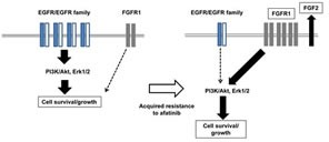 Our hypothetic model shows how afatinib resistance is acquired in lung cancer cells In drug sensitive cell line, the cell survival and growth of human lung cancer cells harboring activating EGFR depends upon the EGFR/EGFR family driven PI3K/Akt and Erk pathways, and this cell survival and growth is highly susceptible to afatinib and other EGFR-TKIs. By contrast, afatinib-resistant subclones express elevated levels of FGFR1 together with FGF2, resulting in activation of Akt and Erk, when EGFR/EGFR family-driven cell growth/survival signaling pathways are mostly attenuated. Of EMT-related transcription factors, Twist seems to specifically responsible for elevated expression of FGFR1 in afatinib resistant cell lines.
