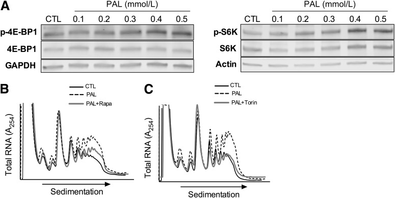 Palmitate activates mTOR signaling. A : Representative immunoblot for the indicated proteins after incubation of MIN6 cells under control (CTL) or with varying concentrations of palmitate (PAL) for 1 h. B : Representative PRP analysis of MIN6 cells after incubation under control, palmitate (0.5 mmol/L), or palmitate + rapamycin (Rapa, 50 nmol/L) conditions for 1 h. C : Representative PRP analysis of MIN6 cells after incubation under control, palmitate (0.5 mmol/L), or palmitate + Torin1 (Torin, 250 mmol/L) conditions for 1 h. In all panels, control cells were incubated at the same glucose concentrations as palmitate-treated cells, and BSA was used in place of palmitate-BSA conjugates.