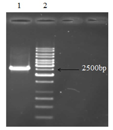 Line 2 is related to 1Kb ladder (Fermentas, cat. No.SM0311) and 2600bp band in line 1 shows amplification of T7 RNA polymerase gene.