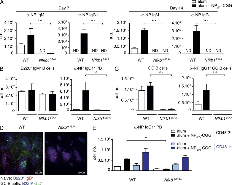 Nfkb1 SSAA/SSAA mutation blocks the B cell antibody response to a TD antigen. WT or Nfkb1 SSAA/SSAA BM cells were mixed with μMT −/− BM cells in a 1:4 ratio, and transferred into sublethally irradiated Rag1 −/− mice. After 8 wk, chimeras were immunized with NP 27 -CGG alum or PBS alum controls. (A) Serum antibody response to NP 27 -CGG immunization of WT or Nfkb1 SSAA/SSAA mixed BM chimeras assessed 7 and 14 d after challenge. Data show mean NP-specific serum IgM and IgG1 levels (±SEM) measured by ELISA. (B) Flow cytometric analysis of total naive B cells (IgM + B220 + ; left) and αNP-IgG1 + plasmablasts (PB; B220 lo IgM lo IgD − CD138 + ; right) in the spleens of chimeras 7 d after NP 27 -CGG immunization (mean absolute number ± SEM). (C) Flow cytometric analysis of total GC B cells (IgM lo B220 + IgD − PNA hi GL7 + ; left) and αNP-IgG1 + GC B cells (right) in chimeras 14 d after NP 27 -CGG immunization (mean absolute number ± SEM). (D) Confocal microscopy of spleen sections from WT or Nfkb1 SSAA/SSAA chimeras immunized with NP 27 -CGG (14d). GC formation was measured by staining with anti-IgD (red), anti-B220 (blue) and GL7 (green). In A–D, results are representative of at least three independent experiments with n = 5 mice per genotype. (E) WT or Nfkb1 SSAA/SSAA CD45.2 + BM cells were mixed with WT CD45.1 + and μMT −/− BM cells in a 1:1:3 ratio, and transferred into sublethally irradiated Rag1 −/− mice. After an 8-wk reconstitution, chimeras were immunized with NP 27 -CGG alum or alum alone. Graph shows the flow cytometric analysis of αNP + IgG1 + plasmablasts (PB), 7 and 14 d after NP 27 -CGG immunization. Results are representative of at least two independent experiments with n = 5–6 mice per genotype. **, P