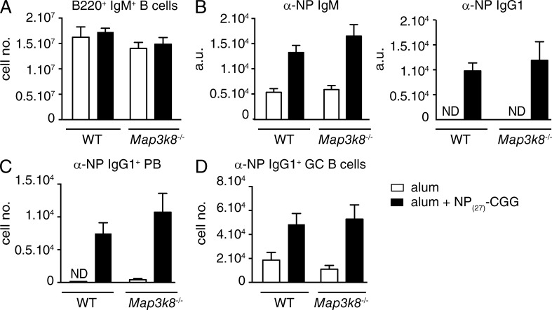 TPL-2 is not required for a B cell antibody response to TD antigen. WT or Map3k8 −/− BM cells were mixed with μMT −/− BM cells in a 1:4 ratio, and transferred into sublethally irradiated Rag1 −/− mice. After 8 wk, chimeras were immunized with NP 27 -CGG alum or PBS alum controls. (A) Flow cytometric analysis of total naive B cells (IgM + B220 + ). (B) α-NP IgM and IgG1 serum antibody levels were quantified by ELISA (mean ± SEM), 14 d after NP 27 -CGG immunization. (C) Splenic α-NP IgG1 + plasmablasts (PB; B220 lo IgM lo IgD − CD138 + ) 7d after NP 27 -CGG immunization (mean absolute number ± SEM). (D) Splenic α-NP IgG1 + GC B cells 14 d after NP 27 -CGG immunization (mean absolute number ± SEM). All results are representative of two independent experiments (4–5 mice per genotype each).