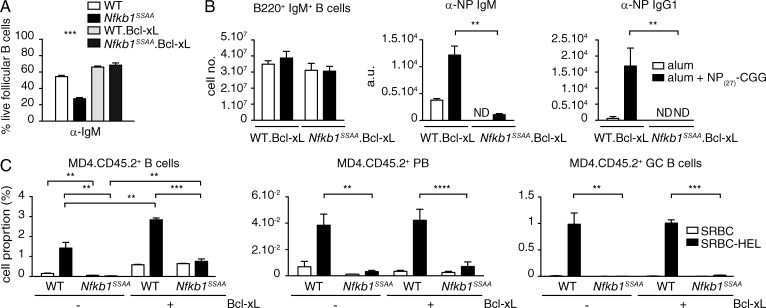 Bcl-xl overexpression does not rescue the TD antibody response of Nfkb1 SSAA/SSAA FM B cells. (A) The fraction of live FM B cells purified from mice of the indicated genotypes was determined as in Fig. 5 C (mean ± SEM). (B) Mixed radiation chimeras were made as in Fig. 2 . LH graph show flow cytometric analysis of splenic B220 + IgM + B cells. Central and RH graphs show anti-NP ELISAs of sera (mean ± SEM) 14 d after NP 27 -CGG immunization. Results are representative of three independent experiments (4–5 mice per genotype). (C) Mean percentages (±SEM) of transferred CD45.2 + cells (left) differentiating to plasmablasts (B220 lo IgM lo IgD − CD138 + CD45.2 + ; middle) and GC B cells (B220 + PNA hi GL7 + CD45.2 + ; right) in the spleens of CD45.1 + WT hosts after 6d immunization with SRBC-HEL or unconjugated SRBC. Results are representative of two independent experiments ( n = 6 mice per condition). Gating strategies used are shown in Fig. S2 (A and B) . **, P
