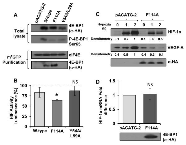 eIF4E availability is a rate limiting factor in the synthesis of both HIF-1α and VEGF-A A B: Tsc2−/− MEFs were transfected with either pACATG-2 or mutant constructs of 4E-BP1 alongside the HIF-1α luciferase reporter. Lysates were analysed for HIF-1α induced luciferase activity (standardised to total protein levels). Graph indicates results from three independent experiments. eIF4E was immunoprecipitated from the remainder of the lysates cells using m 7 GTP beads and 4E-BP1 binding was assessed using western blotting. C: The TOS-mutant of 4E-BP1 was over-expressed in HEK293 cells cultured under hypoxia for the given time points. Lysates were analysed for total HIF-1α and VEGF-A levels using western blotting. D: HEK293 cells expressing empty vector/4E-BP1 mutant were cultured under hypoxia for 4 h, mRNA was extracted from the total lysates and Q-PCR was performed to determine HIF-1α mRNA levels (standardised to β-actin). * = p-value