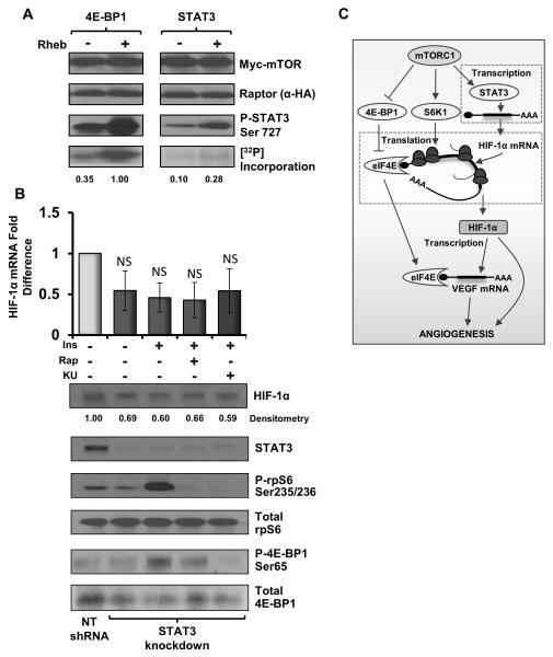 STAT3 is a direct substrate for mTORC1 A: mTORC1 kinase assay: An active mTORC1 complex was purified from insulin stimulated HEK293 cells grown under serum-starved conditions as described. 35 GST-STAT3 and GST-4E-BP1 were purified from serum-starved HEK293 cells, as was GST-Rheb, which was then loaded with GTPγS. Purified mTORC1 complex was incubated alongside potential substrates with and without GTPγS-Rheb (as indicated) for 1 h at 30°C with gentle agitation. SDS-PAGE and western blotting with phospho-specific antibodies was utilised to determine specific phosphorylation events as well as mTOR/Raptor purification. B: HEK293 cells were transfected with either Non-target control or STAT3 shRNA and treated with either 10 μg/ml insulin, 50 nM rapamycin (rap) or 1 μM KU-0063794 (KU). Western blotting was utilised to determine the efficiency of STAT3 knockdown and downstream effects. Q-PCR was utilised to determine HIF-1α mRNA levels (standardised to β-actin). No significant differences were observed between insulin stimulation or mTORC1 inhibition with rap/KU (indicated by NS). C: Schematic showing multiple mTORC1 inputs into angiogenesis. As demonstrated in this study, mTORC1 regulates the translation of HIF-1α via both 4E-BP1/eIF4E and S6K1. Although S6K1 can also promote HIF-1α translation, VEGF-A does not appear to be directly affected by active S6K1. mTORC1 also controls the transcription of HIF-1α mRNA in a rapamycin sensitive fashion via STAT3 phosphorylation, indicating that mTORC1 mediates angiogenesis via three distinct mechanisms.