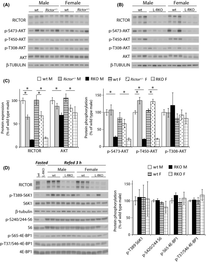 Analysis of mTOR signaling in the livers of L-RKO and rictor +/− mice. (A,B) Analysis of protein expression and phosphorylation in the livers of wild-type and (A) rictor +/− and (B) L-RKO mice fasted overnight and then refed for 3 h. (C) Quantification of the expression of RICTOR and AKT relative to β-tubulin, and the phosphorylation of AKT S473, T450, and T308 relative to AKT. Analysis was of 10-week-old mice ( n = 14 wild-type, 8 rictor +/− and 7 L-RKO males; 12 wild-type, 6 rictor +/− and 6 L-RKO females, * = P