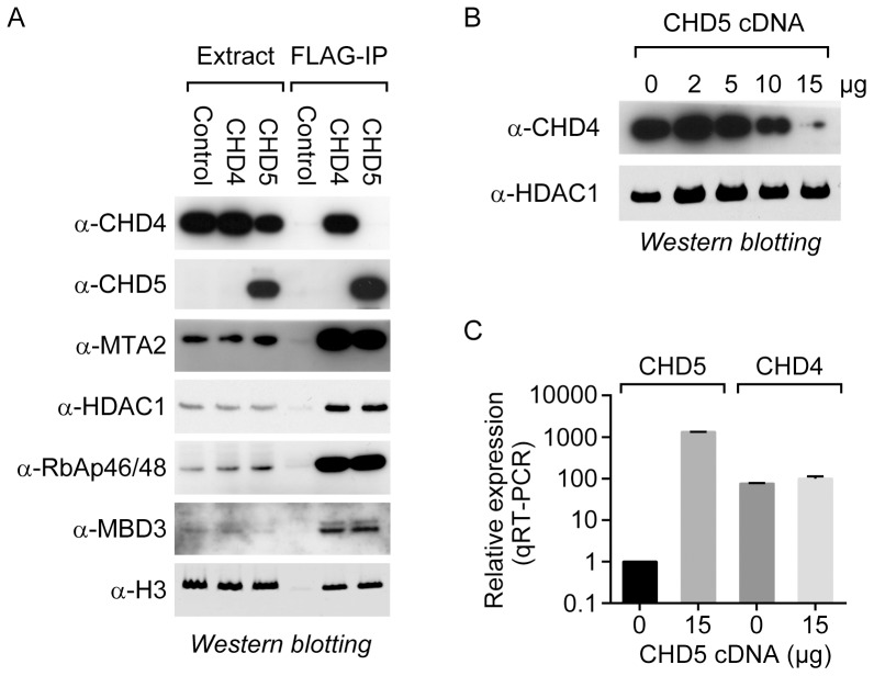 CHD5 co-purifies with the NuRD transcriptional repressor complex. (A) FLAG-tagged CHD4 and CHD5 were immunoprecipitated from a transiently transfected HEK293T-derived cell line, and the samples were analyzed by western blotting using the indicated antibodies. The empty vector was also transfected in parallel [Control]. (B) The HEK293T-derived line was transiently transfected with increasing amounts of the CHD5-expression plasmid. An empty vector was included where necessary to keep the final amount (15 µg) of transfected plasmid constant. Following transfection, cell extracts and RNA were prepared to measure CHD4 levels by western blotting and CHD4 and CHD5 mRNA levels by qRT-PCR.
