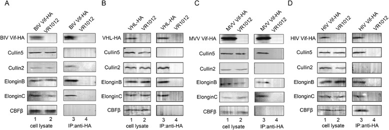 BIV Vif recruits Cul2-EloB-EloC and MVV Vif recruits Cul5-EloB-EloC to induce btA3Z2-Z3 and oaA3Z2-Z3 degradation. 293 T cells (5 × 10 6 ) were transfected with 10 μg <t>HA-tagged</t> BIV Vif or 10 μg VHL and 10 μg VR1012 as a positive and a negative control, respectively (A, B) ; or with 10 μg HA-tagged MVV Vif or 10 μg HIV Vif and 10 μg VR1012 as a positive and a negative control, respectively (C, D) . After 48 h of transfection, cell lysates were immunoprecipitated with HA <t>beads,</t> followed by SDS-PAGE and immunoblot analysis using <t>anti-HA,</t> <t>anti-hCul2,</t> anti-hCul5, anti-hEloB, anti-hEloC and anti-hCBF-β <t>antibodies.</t> All immunoprecipitation experiments were repeated three times.