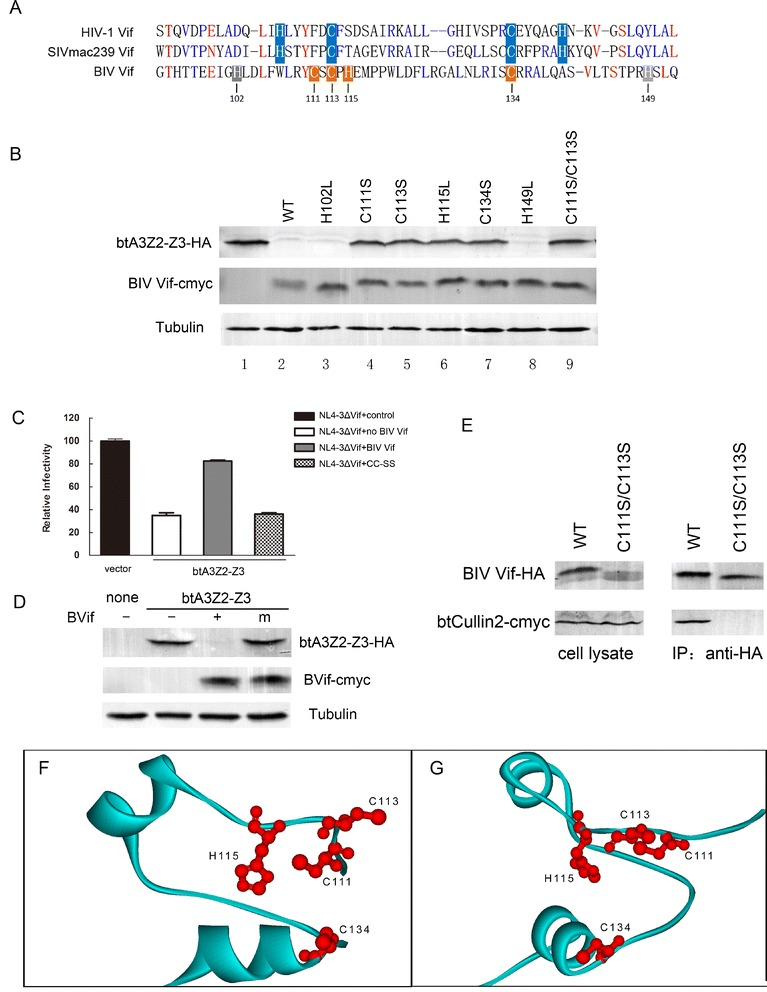 The C-x1-C-x1-H-x19-C motif is crucial and predicted to be a zinc binding loop. (A) Alignment of partial BIV Vif sequences with primate lentiviral Vifs by BioEdit. (B) 293 T cells (0.5 × 10 6 ) were co-transfected with 30 ng HA-tagged btA3Z2-Z3 and 200 ng cmyc-tagged BIV Vif or BIV Vif mutants H102L, C111S, C113S, H115L, C134S, H149L or C111S/C113S. At 48 h after transfection, the cells were harvested for Western blotting using anti-HA, anti-cmyc and anti-tubulin antibodies. ( C and D ) 293 T cells (1 × 10 6 ) were co-transfected with 1 μg pNL4-3ΔVif plus 15 ng VR1012, or HA-tagged btA3Z2-Z3 and 100 ng cmyc-tagged BIV Vif, BIV Vif C111S/C113S or VR1012. The virus infectivity was assayed by the MAGI assay. Virus infectivity was set to 100% in the absence of btA3Z2-Z3. (D) Western blot was performed on the cell lysates from (C) to show the producer cell levels of btA3Z2-Z3 protein (anti-HA), BIV Vif/BIV Vif C111S/C113 (anti-cmyc) and tubulin. (E) 293 T cells (5 × 10 6 ) were co-transfected with 10 μg cmyc-tagged btCul2 and 6 μg HA-tagged BIV Vif or 6 μg BIV Vif C111S/C113S. At 48 h after transfection, cells were immunoprecipitated with HA beads, followed by SDS-PAGE and immunoblot analysis using an anti-HA antibody and an anti-cmyc antibody. (F and G) Panels A and B are views of the alpha carbon ribbon and differ from each other by 90 degrees. Residues which likely participate in the coordination of zinc ions are shown and labeled. All infection experiments were repeated three times.