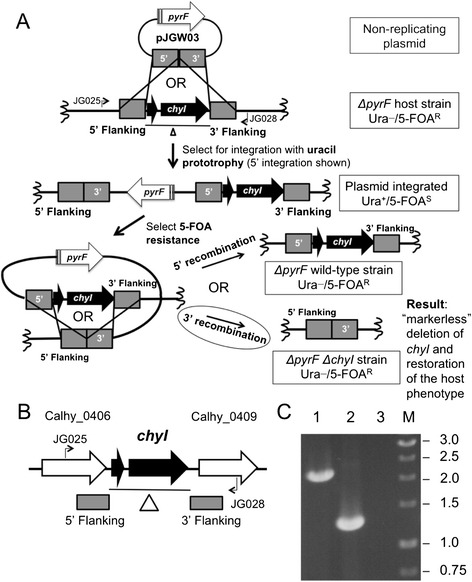Deletion of the gene encoding putative restriction enzyme ChyI. A) Scheme for targeted gene deletion. The pJGW03 chyI knockout vector is transformed into JWCH006 ( ΔpyrF ), and uracil prototrophy selects for integration at one of the 500-bp flanking regions, denoted by the gray boxes. 5′ integration is shown. The uracil prototroph is then plated on 5-FOA to select for loop-out of the pyrF cassette via homologous recombination between flanking region sequences. The two possible results are a return to the wild-type sequence or a clean chyI deletion. (B) Chromosomal map of the locus containing the ORF for chyI . The deleted region is indicated by the line below the diagram. Bent arrows depict primers used to verify deletion of chyI in the JWCH008 strain. (C) Gel depicting PCR products of the chyI region in the JWCH006 ∆ pyrF strain (2.3 kb) compared to the JWCH008 ∆ pyrF ∆ chyI strain (1.25 kb) amplified by the indicated primers (JG025 and JG028). 1: C. hydrothermalis JWCH006 genomic DNA; 2: C. hydrothermalis JWCH008 genomic DNA; 3: negative control; M: 1 kb DNA ladder (NEB).