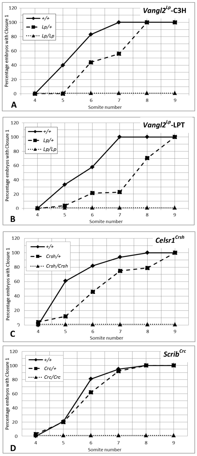 Delayed initiation of neural tube closure in Celsr1 Crsh /+ and Vangl2 Lp /+ but not in Scrib Crc /+ embryos. Proportion of E8.5 embryos that initiate neural tube closure in the four- to nine-somite stage interval is shown for wild type (solid line), heterozygous mutants (dashed line) and homozygous mutants (dotted line). (A) Vangl2 Lp mutant strain (congenic on C3H/HeH; n =22 +/+, 42 Lp /+, 16 Lp/Lp ); (B) Vangl2 Lp mutant strain (on LPT/Le × CBA background; n =55 +/+, 131 Lp /+, 49 Lp/Lp ); (C) Celsr1 Crsh mutant strain ( n =75 +/+, 175 Crsh /+, 61 Crsh/Crsh ); (D) Scrib Crc mutant strain (congenic on C3H/HeH; n =163 +/+, 371 Crc /+, 154 Crc/Crc ). Homozygotes all fail to initiate neural tube closure. Wild-type embryos undergo Closure 1 between the five- and eight-somite stages. Vangl2 Lp /+ and Celsr1 Crsh /+ heterozygotes are delayed in closure initiation compared with wild type ( Vangl2 Lp -C3H : P =0.03; Vangl2 Lp -LPT : P
